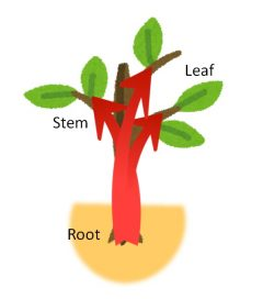 Theanine is syntesized in root